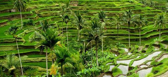 terrasse riz ubud bali