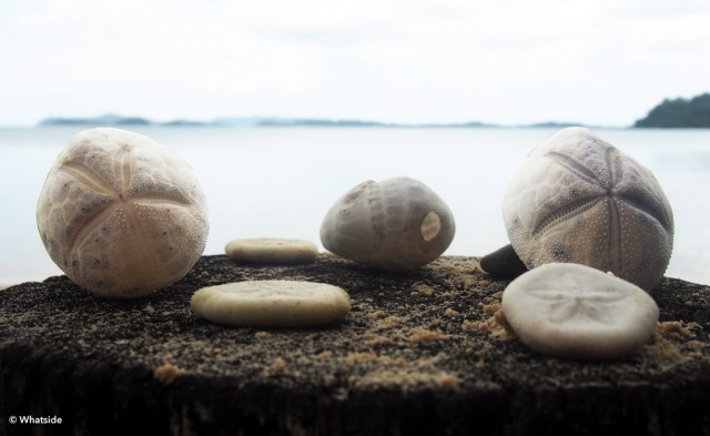 Oeufs d'étoiles de mer - Port Barton