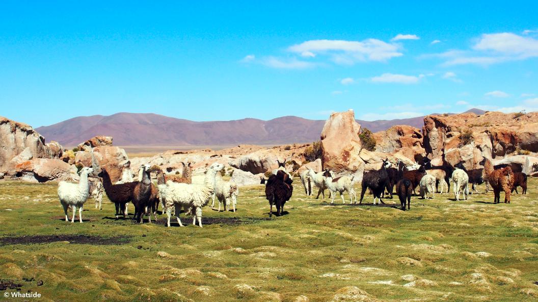 Lamas sauvages dans le Sud Lipez