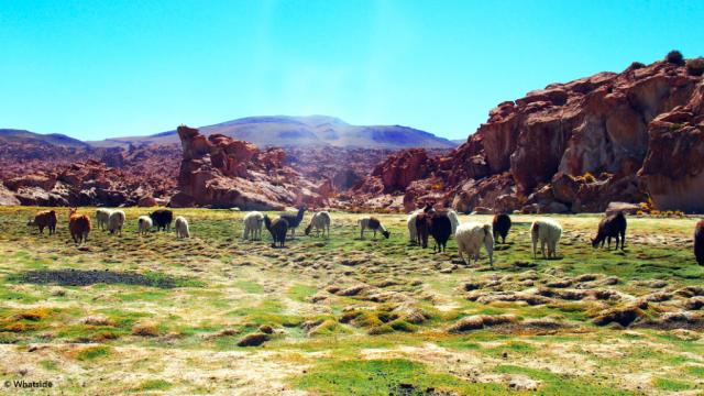 Les lamas sauvages de Bolivie