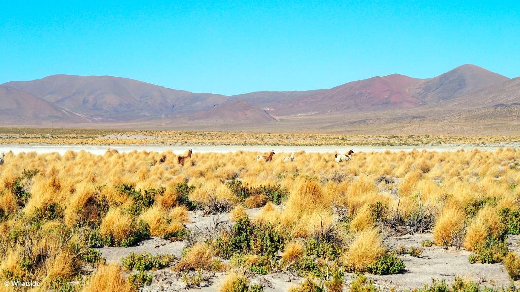 Lamas sauvages du Sud Lipez