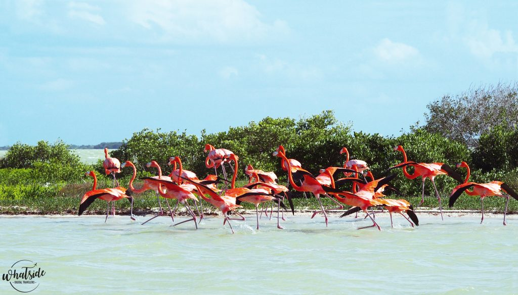 Flamants roses rio lagartos yucatan Mexique