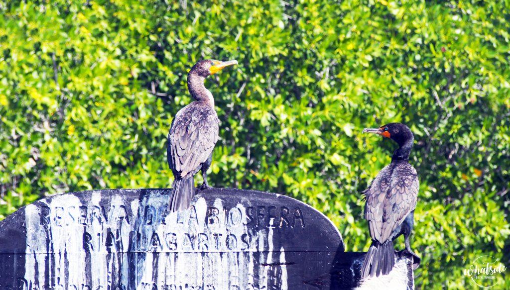 Oiseaux Rio Lagartos Mexique