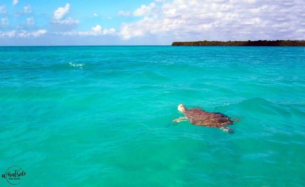 Tortue de la réserve de Sian Ka'an Quintana Roo